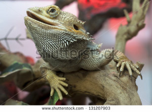 Bearded dragon Stock Photos, Illustrations, and Vector Art