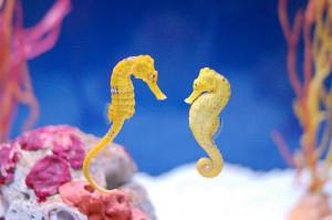 seahorses - seahorses Photo