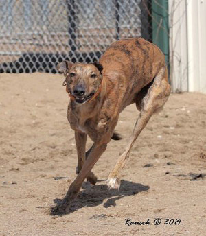 Tiger Striped Greyhound Greyhound pets of