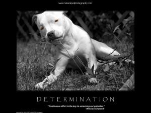 Thread: Pit Bull Motivational Poster