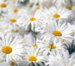 ... daisy flowers gerbera daisy flower wallpaper beautiful daisy flowers
