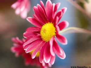 Pink Daisy looks elegant