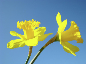 These are some of Cartoon Clip Art Daffodil Spring Garden Flower ...