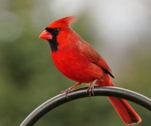 red cardinal bird head