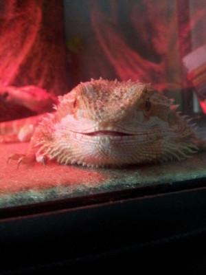 Bearded dragon cuteness