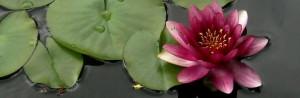 Pink Lotus Flower Symbol Pink lotus flower meaning