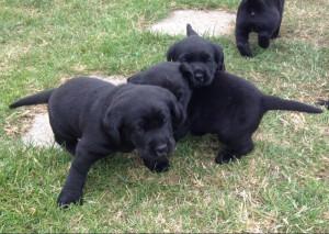 black labrador puppies for adoption