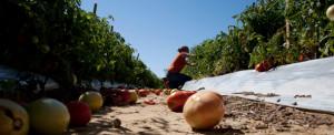Kassi Cruz picks tomatoes in Steele, Alabama, on October 3, 2011. Cruz ...