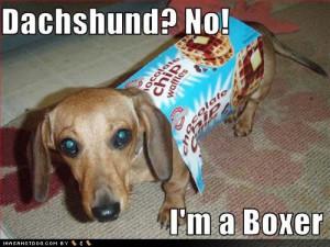 dachshund boxer waffles Image