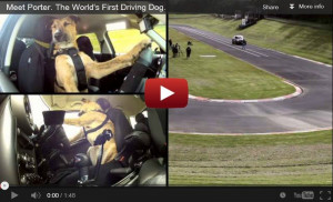 ... the Hero's: Monty, Porter and Ginny – world's first driving dogs