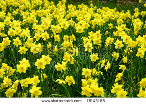 field of Daffodils intentionally blurred for background - stock ...