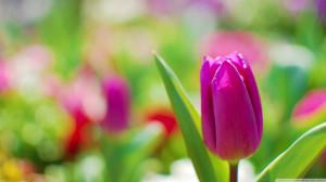 purple tulip Inspirational stories – Quotes – pictures