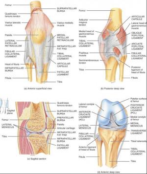 Oblique Popliteal Ligament Anterior cruciate ligament