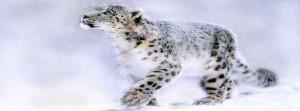 Leopard Snow Blizzard Facebook Cover