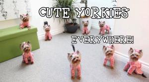 cute yorkie clones