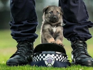 German shepherd puppies are the newest recruits to the Victoria Police ...