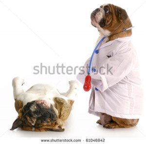 care english bulldog dressed up like a veterinarian giving check up