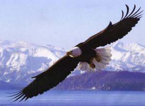 Bald Eagle by alana