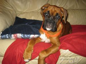 cute puppy boxer dog