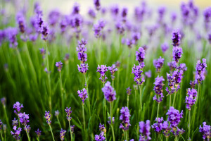 Lavender Flowers Wallpapers