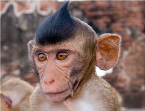 Funny Monkey Hairstyles 2012