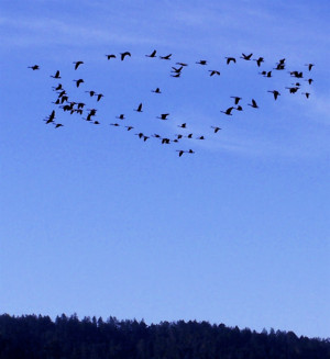 of Canada geese flying over Inverness Ridge as seen from my deck