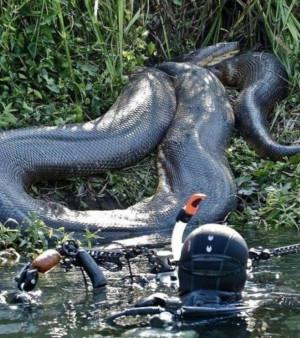 Le plus gros serpent du monde : le poids du Grand Anaconda peut ...