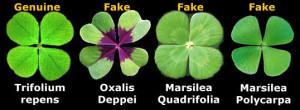 four leaf clover according to legend eve carried a four leaf clover ...
