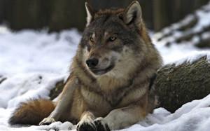 Alpha Wolf Desktop Wallpaper in Widescreen