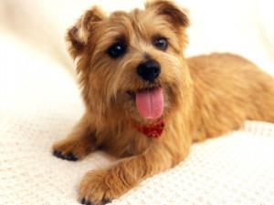 只有28种小型观赏犬能养