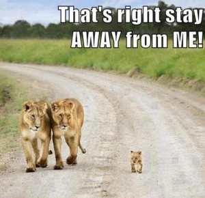 this baby lion is so cute but he thinks he is a big bad lion and so do ...