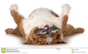 Dog sleeping upside down isolated on white background - english ...