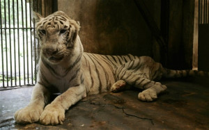 The tigers are emaciated and the 180 pelicans packed so tightly they ...