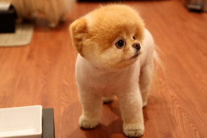 ... labels boo cutest dog boo dog cutest dog in the world boo wallpapers