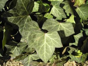 English Ivy Plant Poisonous