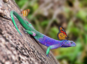 Animal Picture Colorful Lizard With Butterfly On Head