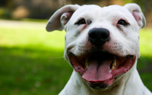 The White Staffordshire Bull Terrier wallpapers and images