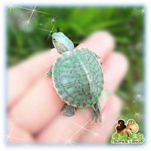 Brazil Turtle as Pet