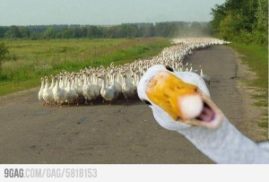 Funny Goose photobombing other geese.....
