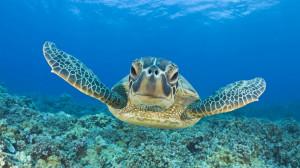 HD wallpaper : Turtle Swimming Underwater Hd Animal Wallpaper Turtles ...