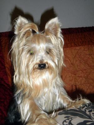 Yorkshire Terrier Hembra
