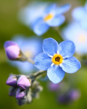 Friday's Flowers: Forget me not