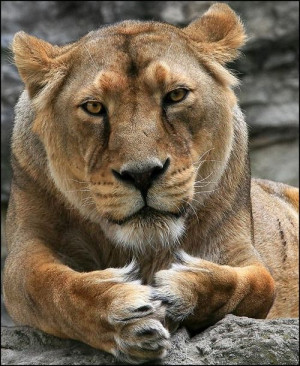 Lioness Courage. To be the first, to do it differently, to protect ...