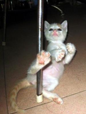 Pole dancing cat