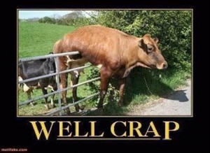 cow stuck on a fence, funny pictures