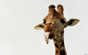 Giraffes tongue Wallpapers Pictures Photos Images