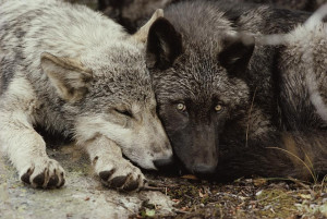 sleeping wolves Cubs wolf pack pups pup laying black wolf gray wolf ...