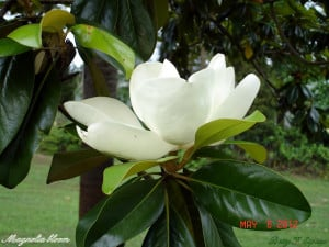 Magnolia in bloom...