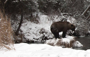Grizzly Bear The Canadian