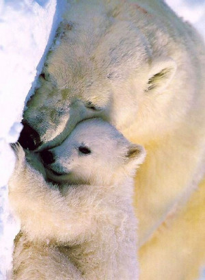 Sleepy Polar bears via www.Facebook.com/PositivityToolbox